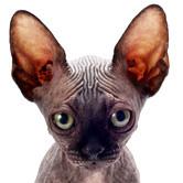 Haarlose Sphynx Katze, Bildquelle: fotolia.com