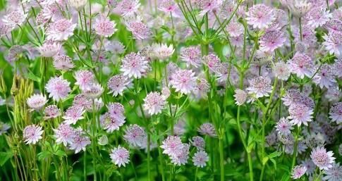 Sterndolde (Astrantia major) – eignet sich sehr gut für einen modernen Bepflanzungsstil