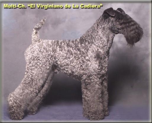 M.Ch.El Virginiano de la Cadiera (Ch.Arigna Oskar & Ch.Ibiut Prays-Blue)