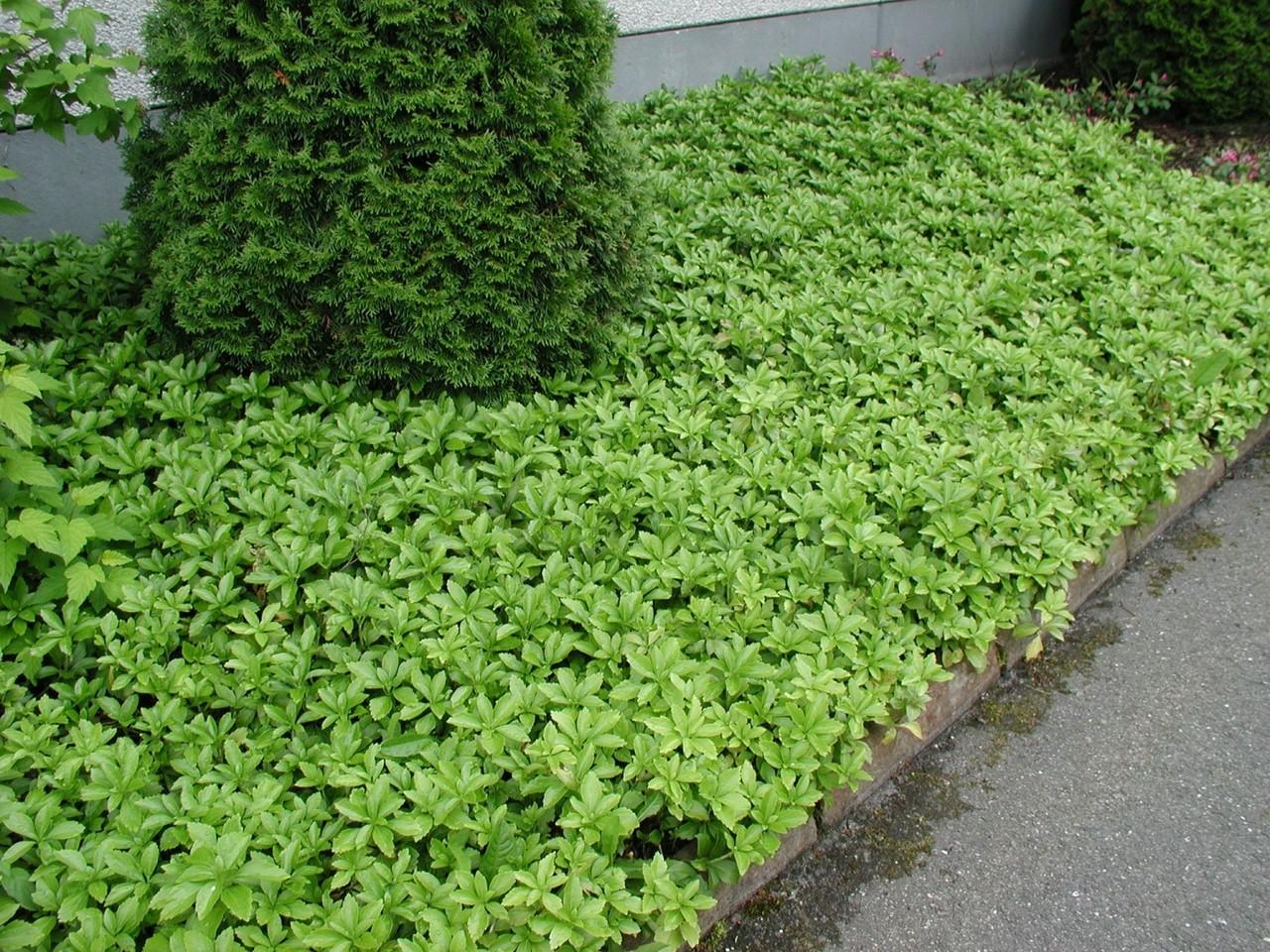 Bodendecker 1,19 € pro St 100 x Pachysandra terminalis /'Green Carpet/'