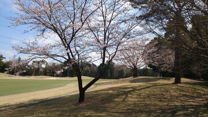 さくら咲くゴルフ