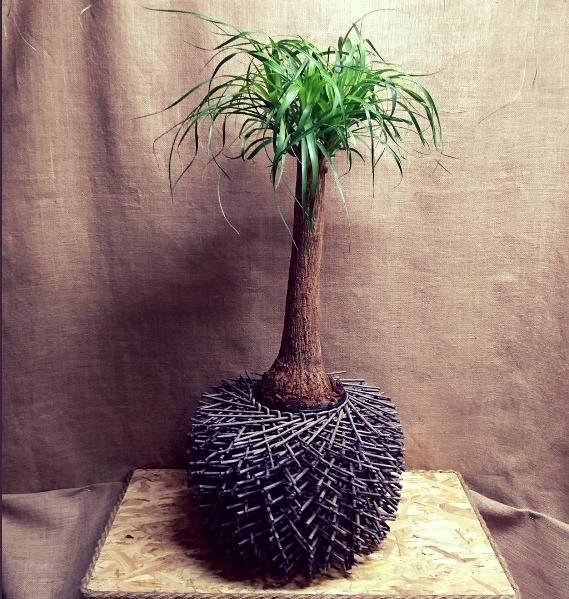 Beaucarnea recurvata con macetero decorativo