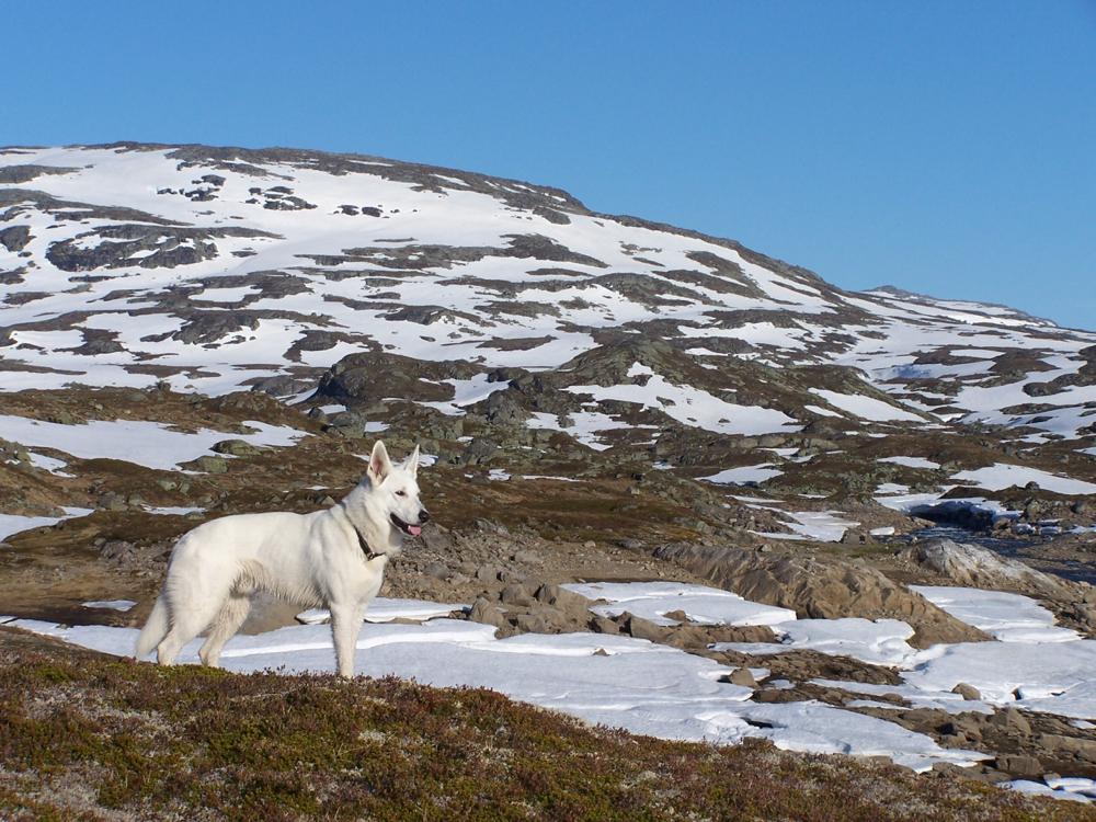 Zuchtstätte für Weisse schweizer Schäferhunde White of the Arctic in Sachsen, Erzgebirge, Deckrüde Dusty Sir