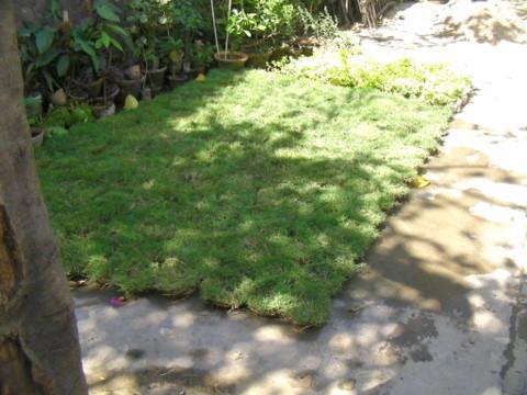 芝生 一つが直径15cmほどの円形をしている