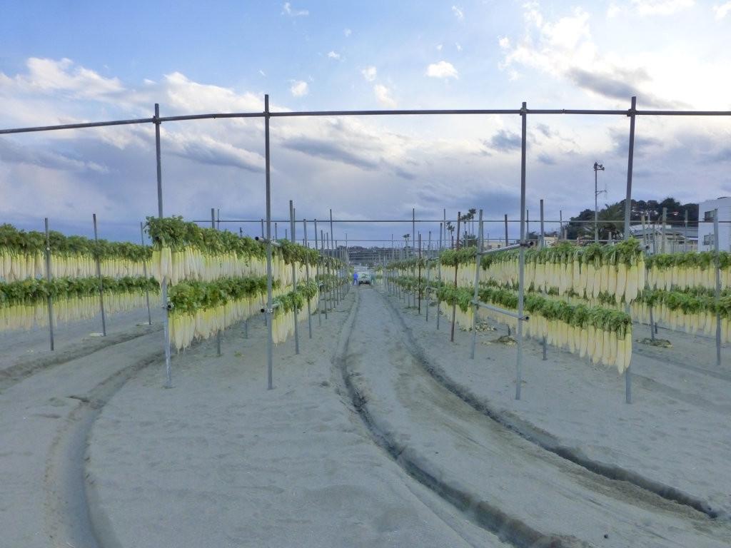 三浦海岸のダイコン干し