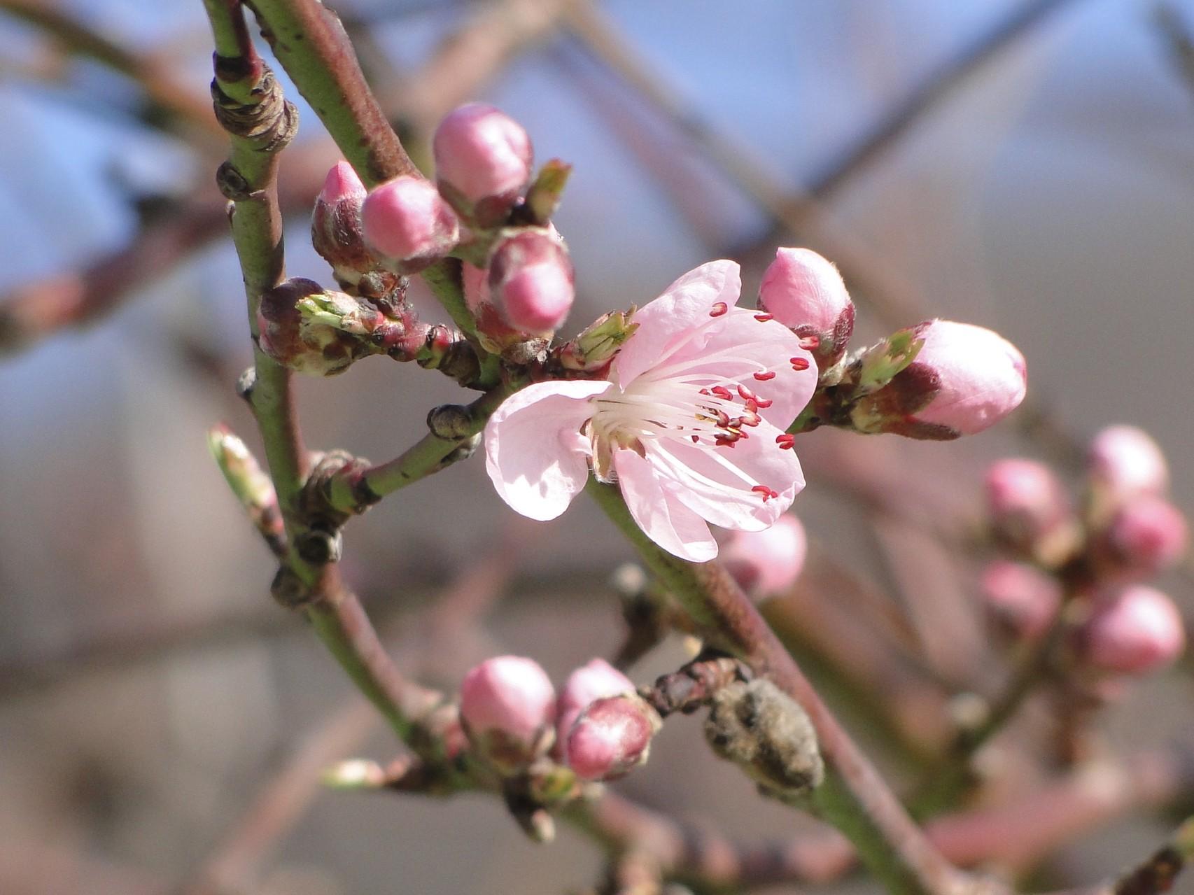 Blüte vom Roten Weinbergpfirsich