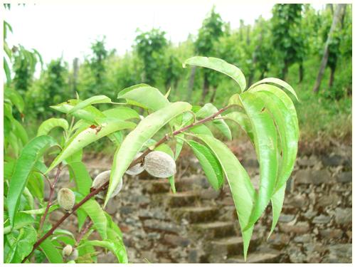 Kleiner Pfirsich mit Steintreppe