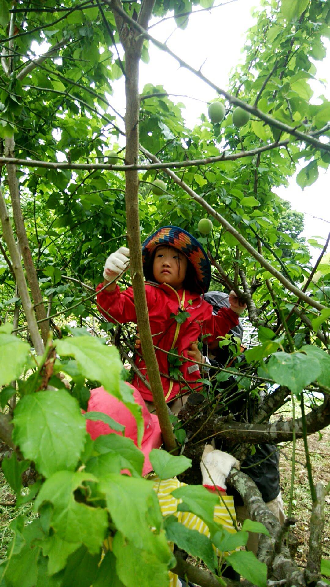 みんな木に登って夢中で梅とり