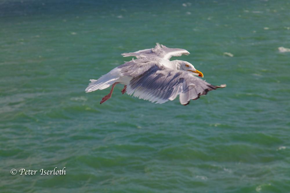 Silbermöwe zieht ihre Kreise, Nordsee