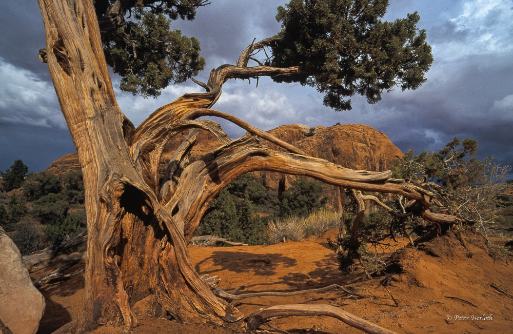 Bristlecone Pine im Arches-Nationalpark, USA
