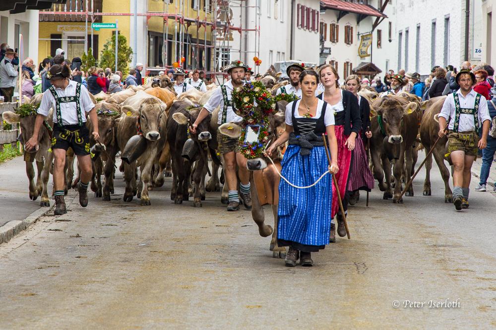 Viehscheid in Wertach, Allgäu, Deutschland