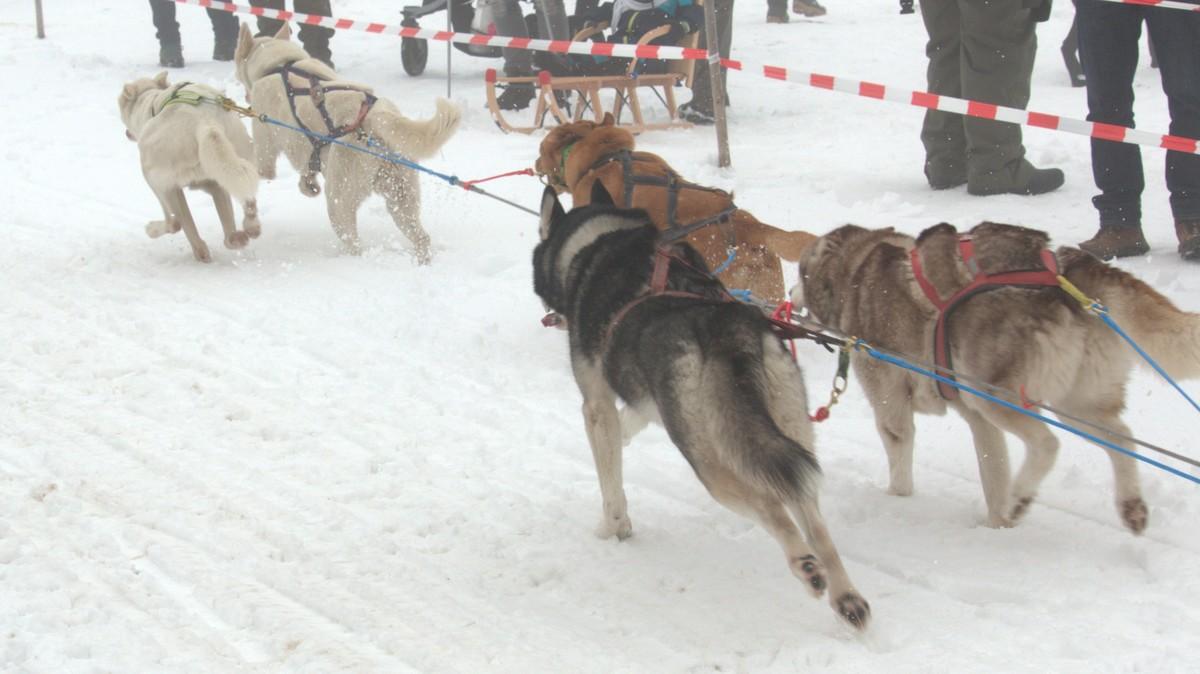 Schlittenhunde 4