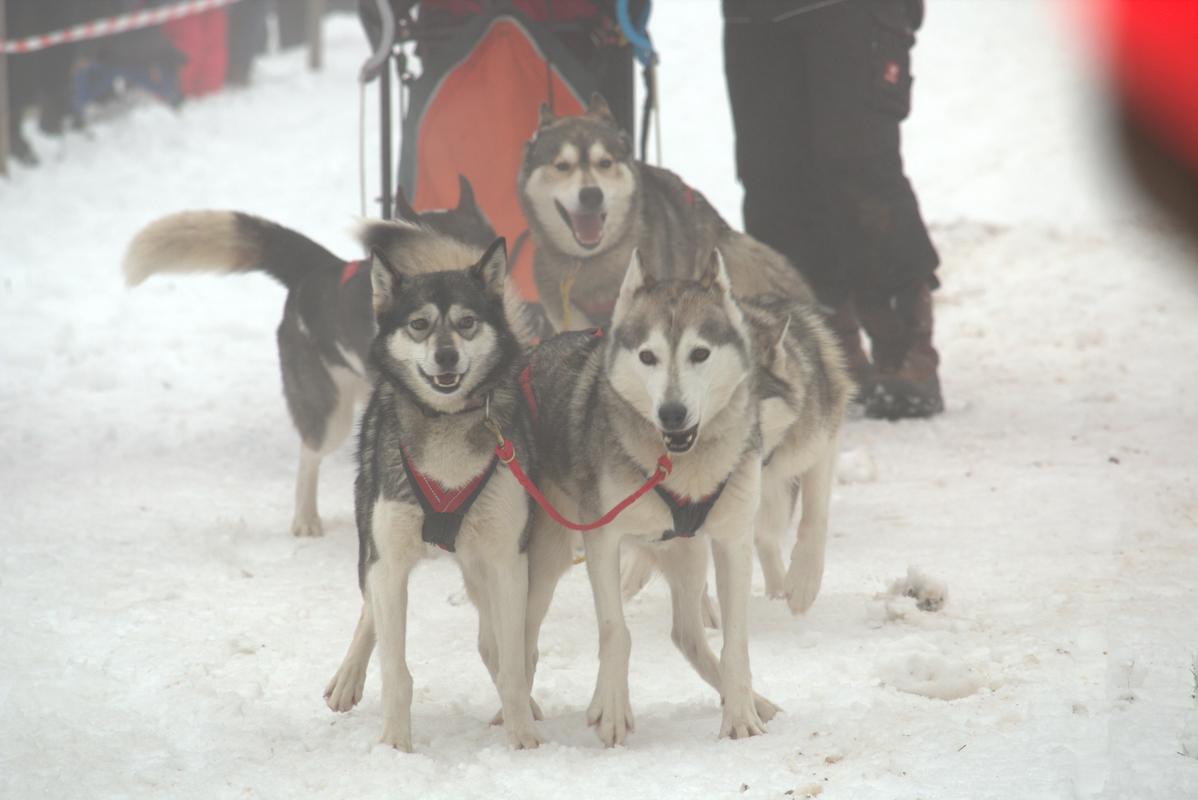 Schlittenhunde 3