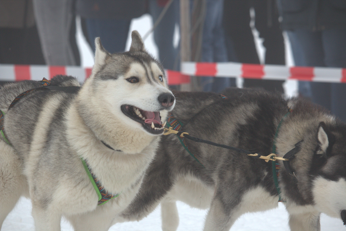 Schlittenhunde 1