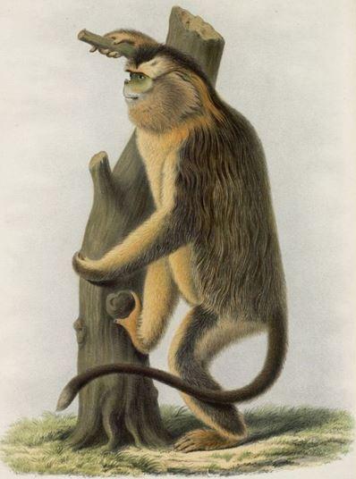 Rhinopithecus Roxellanæ. Henri IMBERT : Les grands singes connus des anciens Chinois Imprimerie d'Extrême-Orient, Hanoi-Haiphong, 1922, 11 pages