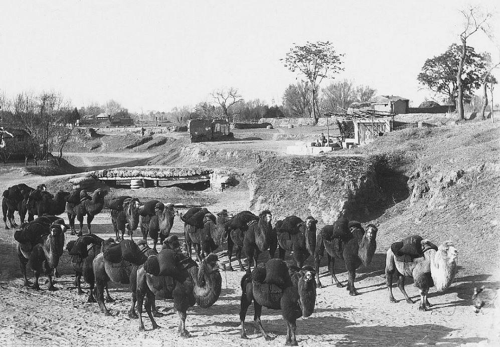 311. — Caravane de chameaux chargés de sacs de charbon.