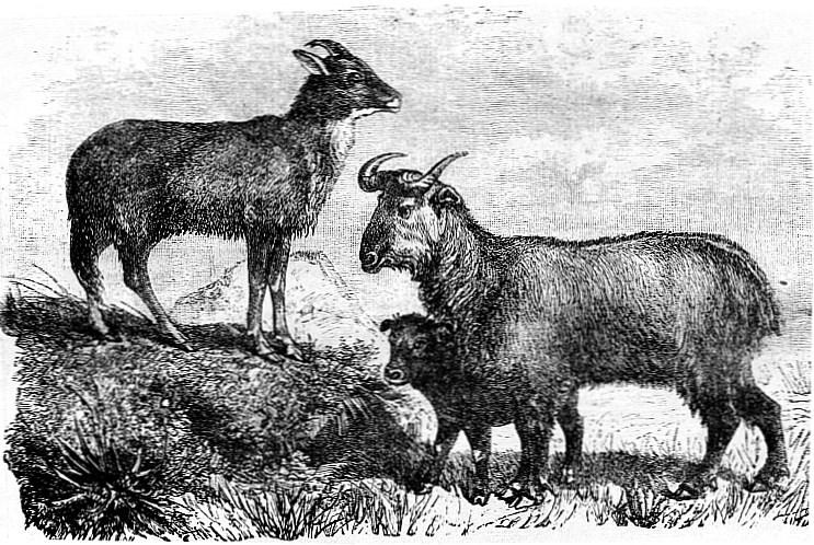 Antilopes de montagne. Armand David (1826-1900) : une autobiographie, extraite de : De quelques services rendus aux sciences naturelles par les missionnaires de l'Extrême-Orient,  notice publiée dans Les Missions catholiques, du 4 mai au 15 juin 1888