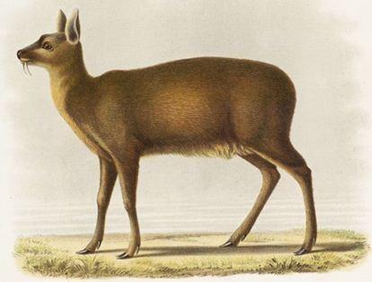 Moschus moschiferus (Linné)