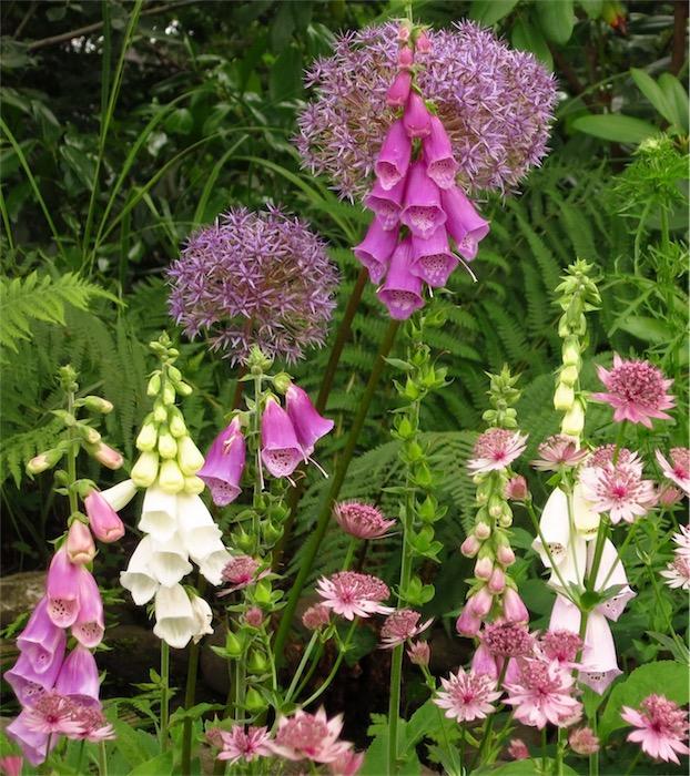 Fingerhut & Allium - Helenenweg-Garten