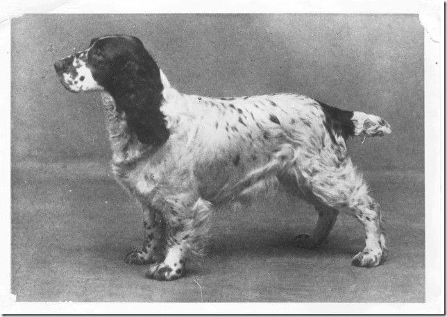 "Champion Wribbenhall Whitewash, Besitzer Mr G. Mortimer Smith of Bewdley, ein gutes Exemplar eines ""Blue Roan"" Field Spaniel, geboren 1928, Foto: David Hancock"