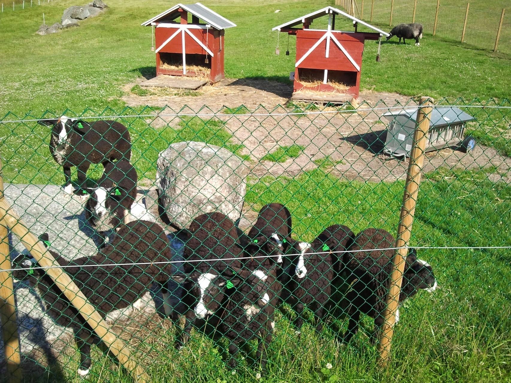 Alle Kindergartenlämmer stehen neugierig am Zaun stehend