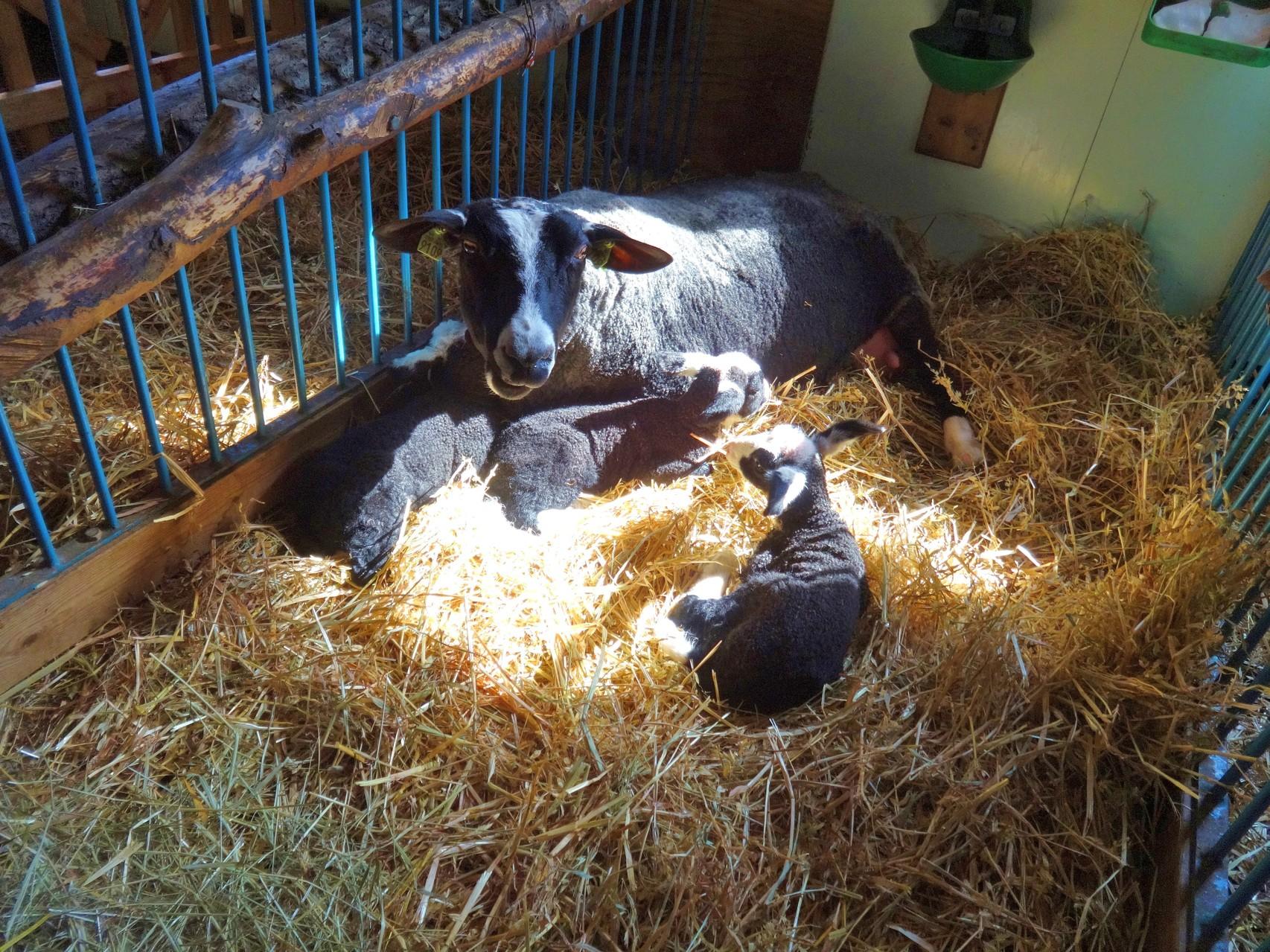 Mamma Maxi mit ihren Drillingen, wenige Stunden nach der Geburt