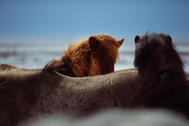 drei Pferde am Strand beobachten