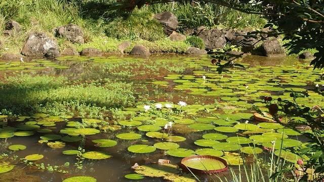 ワイメア渓谷の蓮池です。