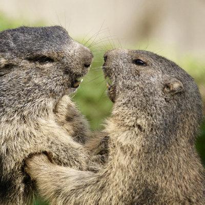 rando à briançon dans les hautes alpes, où trouver les marmottes