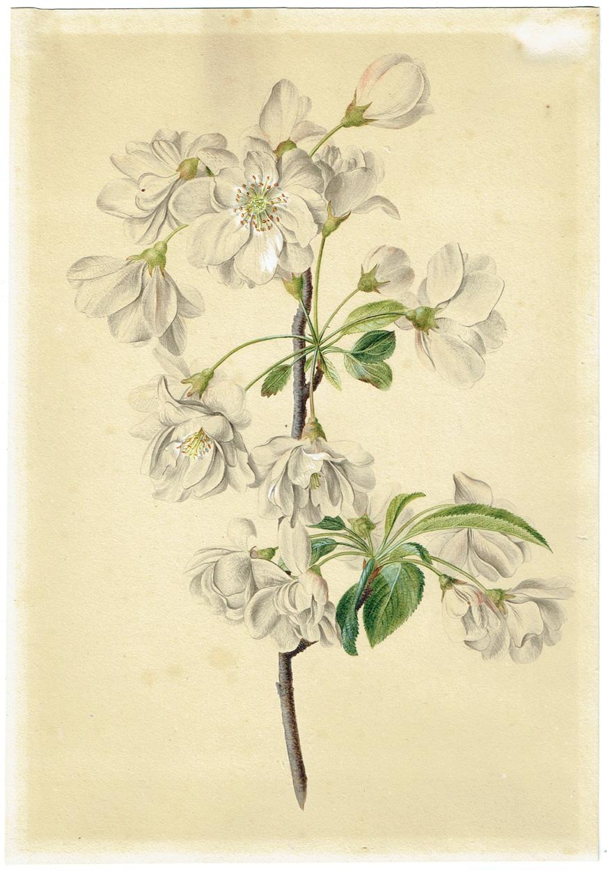 Johann Heinrich August Friedrich zugeschr., Obstblütenzweig