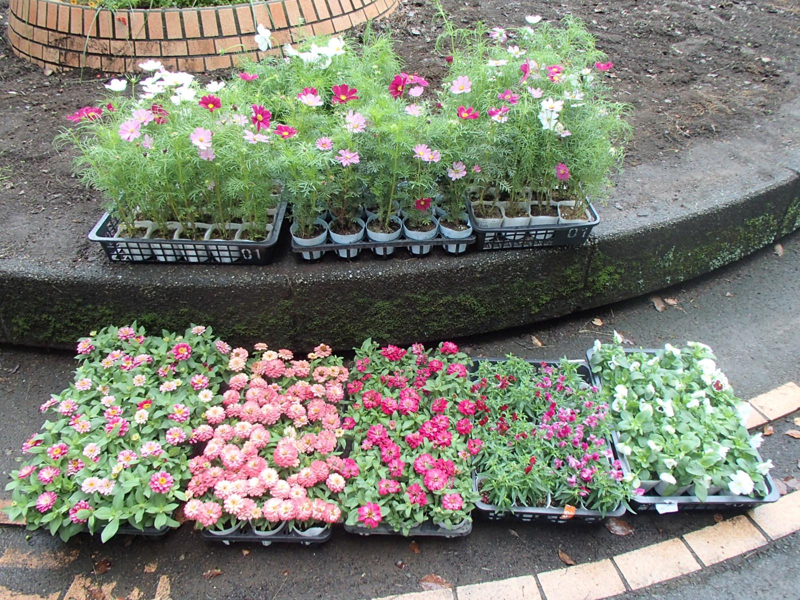 本日植えるお花☆ピンク系の色でまとめました♪