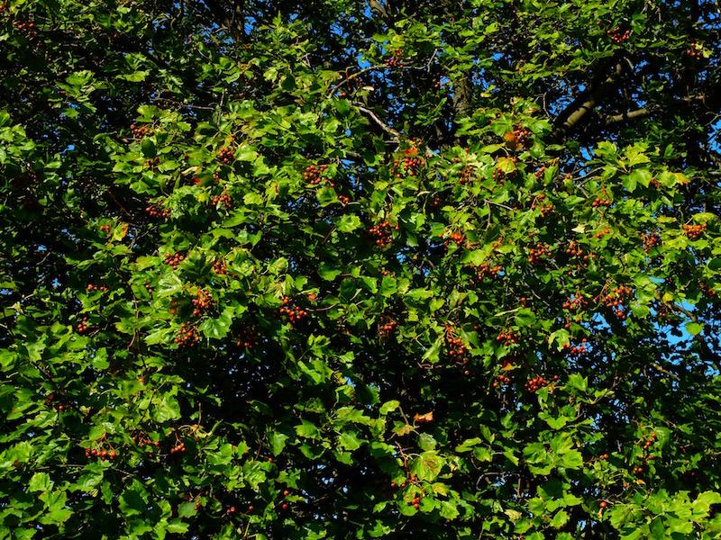 Früchte am Vogelbaum, die noch ca. 10 Tage benötigen
