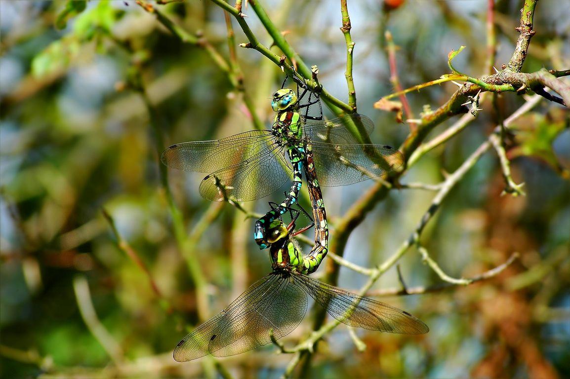 Die Herbst-Mosaikjungfer erreicht eine Körperlänge von max. 6,5 cm