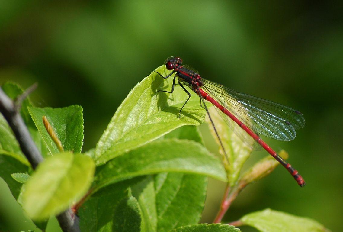 Die frühe Adonislibelle ist leicht an ihrer roten Färbung zu erkennen. Neben der Scharlachlibelle ist sie die einzige rot gefärbte Kleinlibelle.