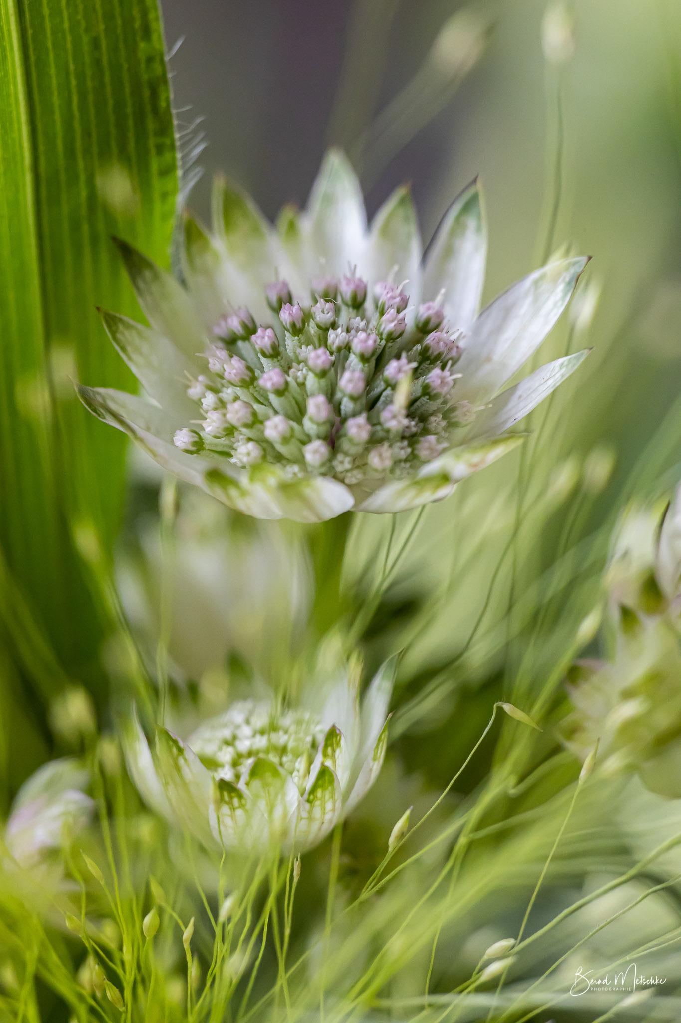 Sterndolde (Astrantia major): wunderschöne und außergewöhnliche Blüten
