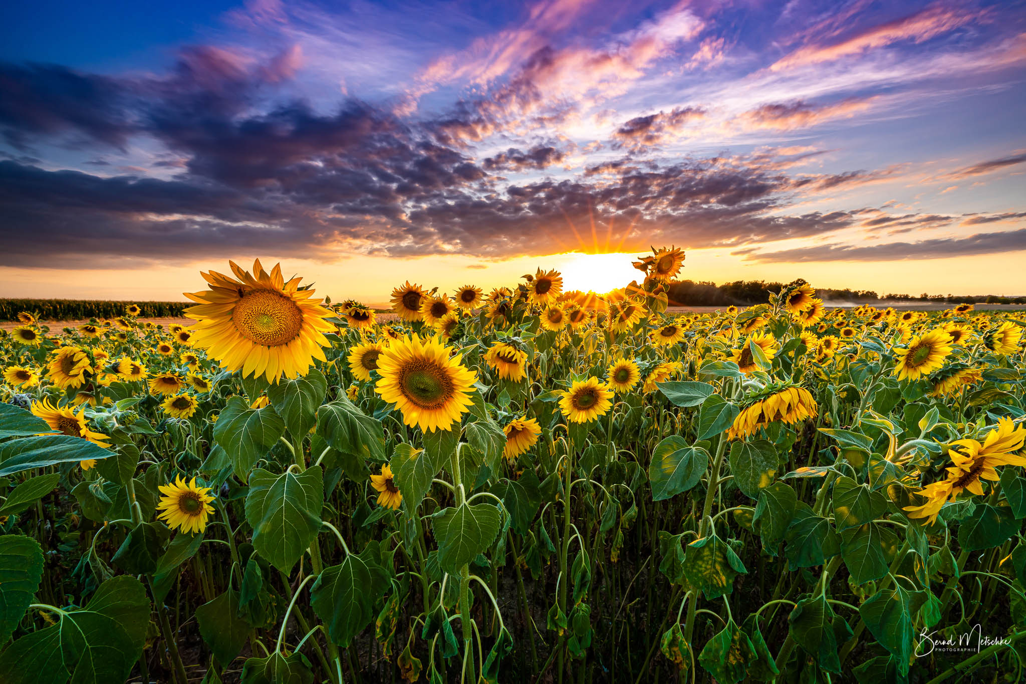 Sonnenblumen bei Sonnenuntergang