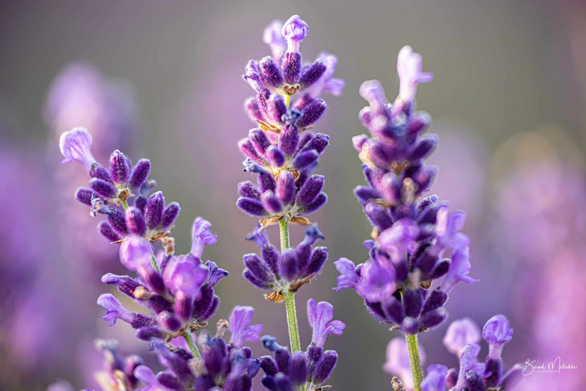 Echter Lavendel in voller Pracht