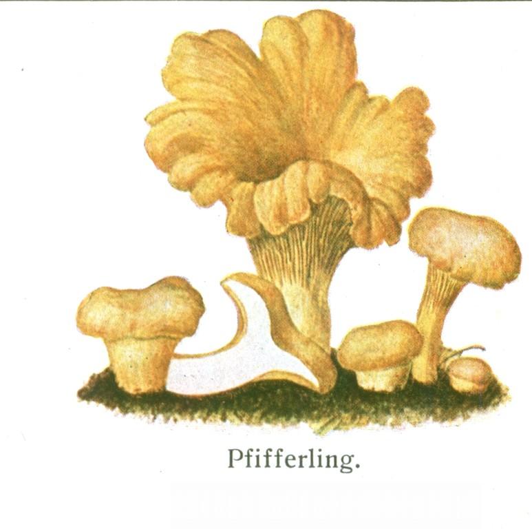 Pfifferling, Eierschwamm (Cantharellus cibarius).