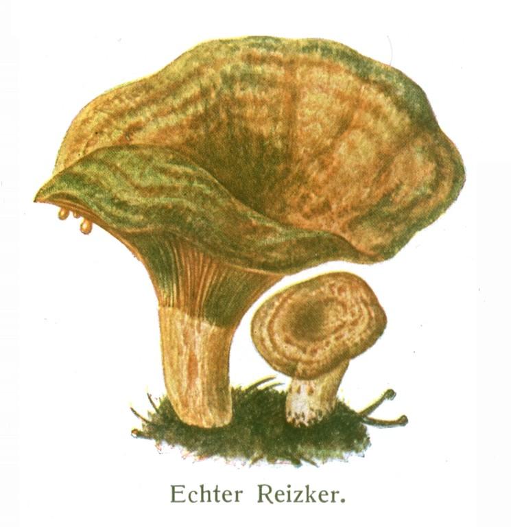 Echter Reizker. Aus: Schmeil, Franke, Rabes: Pflanzenkunde (1927)