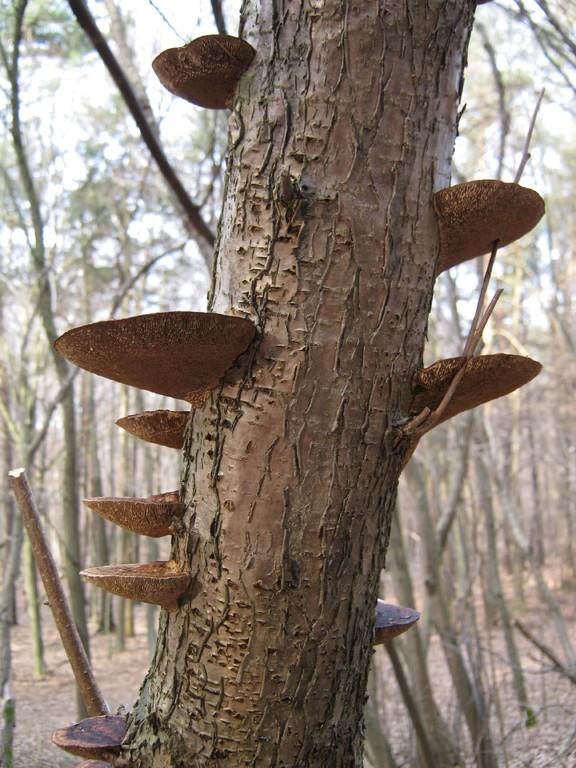 Rötende Tramete (Daedaleopsis confragosa) an Totholz.