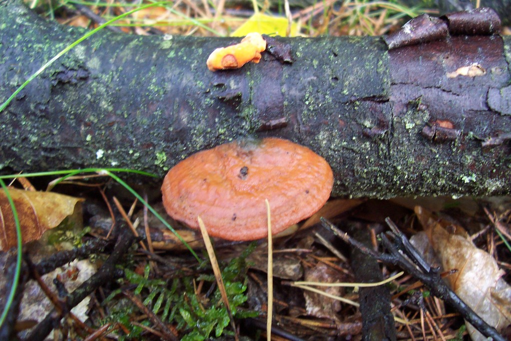Zinnoberrote Tramete (Pycnoporus cinnabarinus an Totholz der Spätblühenden Traubenkirsche (Prunus serotina).