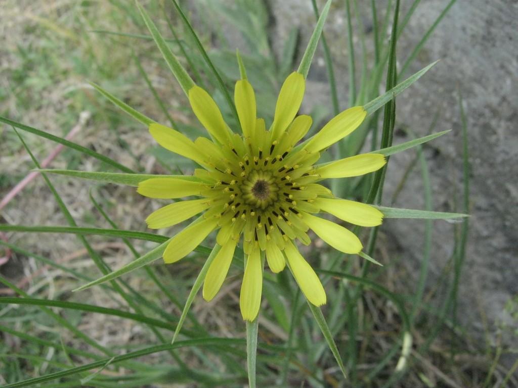Wiesen-Bocksbart (Tragopogon pratensis).