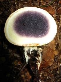 Unreife Gleba des Kartoffelbovist (Scleroderma citrinum)