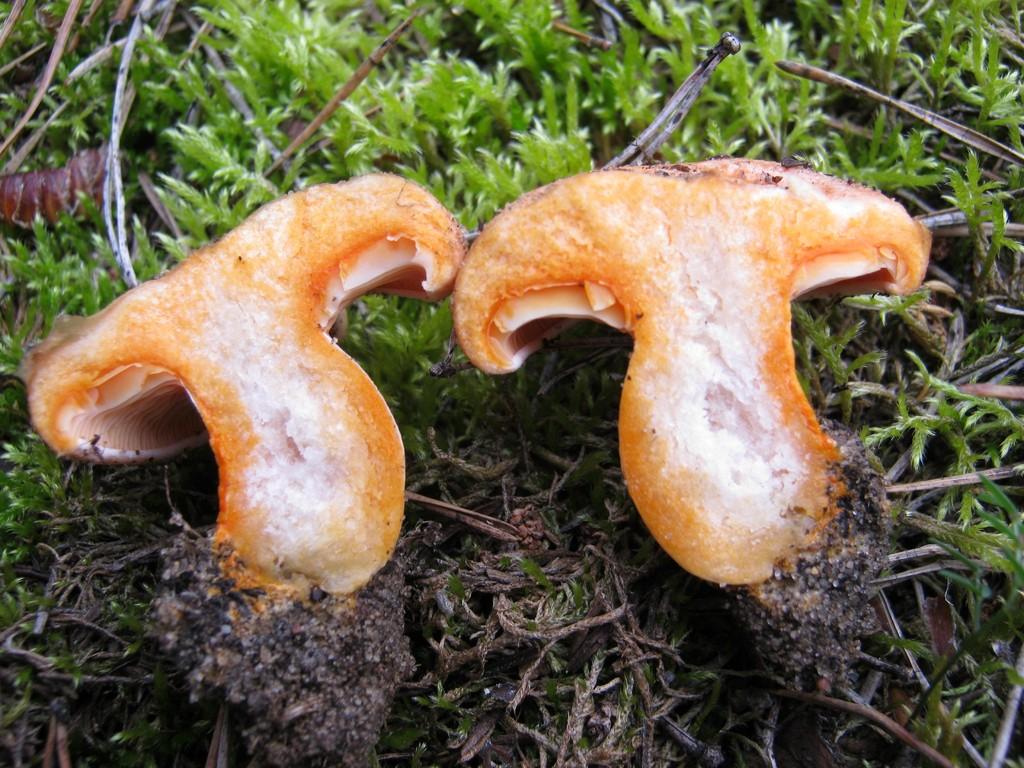 Edelreizker im Anschnitt: kräftig orangerotes bis karottenfarbiges Fleisch direkt unter der Oberfläche.