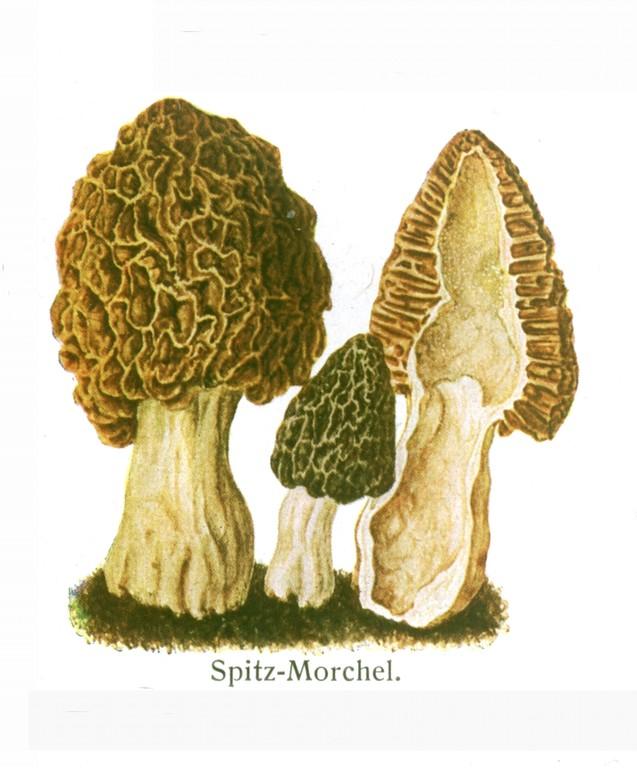 Spitzmorchel (Morchella elata).
