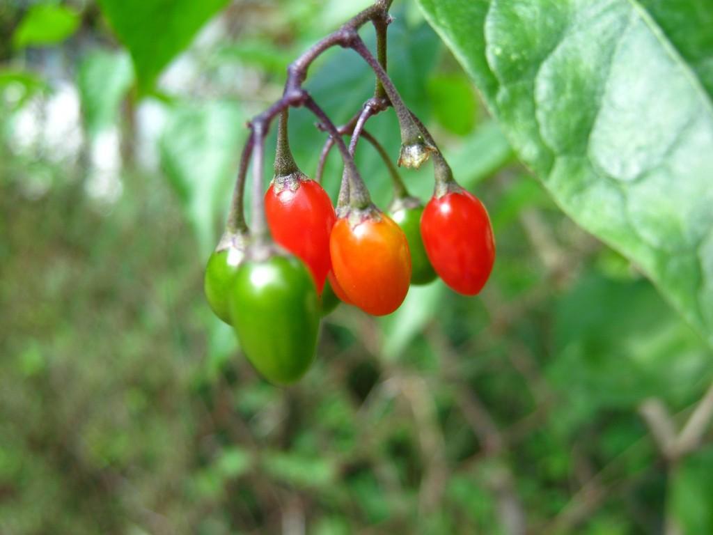 Bittersüßer Nachtschatten (Solanum dulcamara).