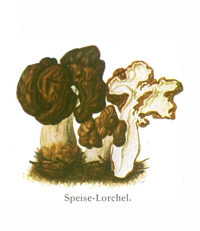 Frühjahrslorchel (Gyromitra esculenta).