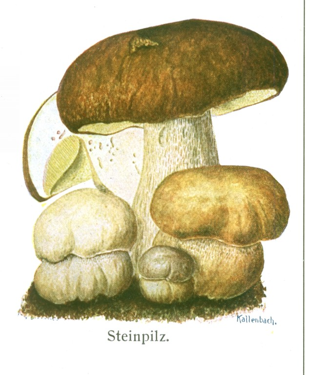 Steinpilz (Boletus edulis).