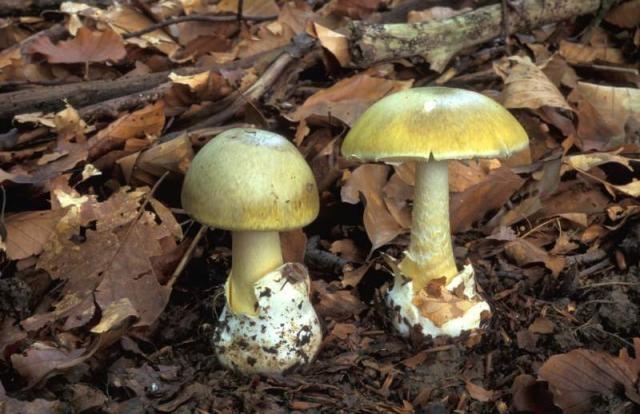 Sind die beiden nicht hübsch? Ja, aber tödlich giftig! (Foto: Jan van der Straten, www.saxifraga.nl)