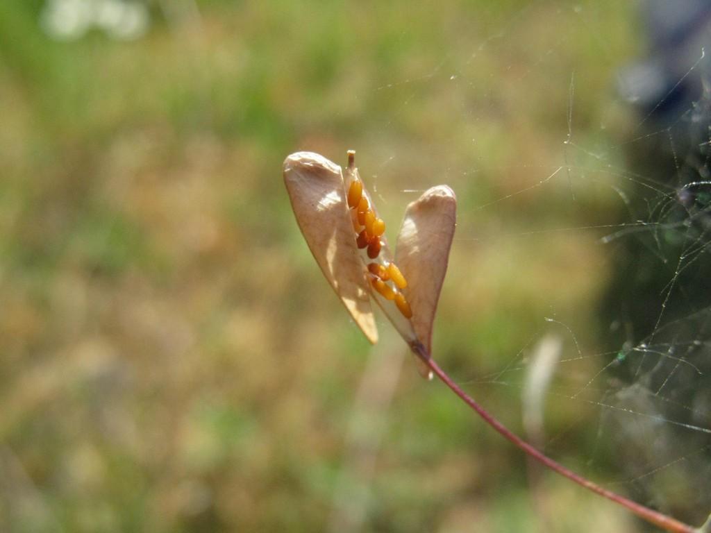 Hirtentäschel (Capsella bursa-pastoris).